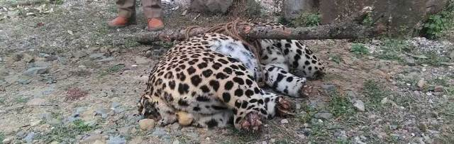 Poachers-account-for-53-of-131-leopard-deaths-across-India-in-2017