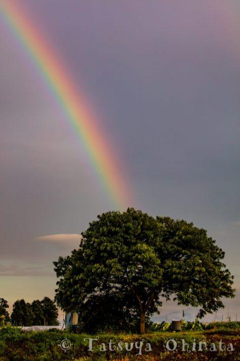 木から伸びる虹