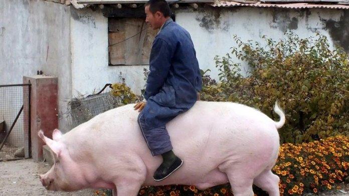 पोर्क उत्सव