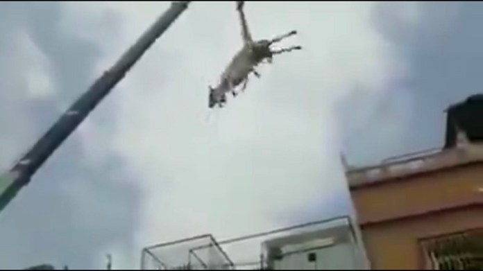 पाकिस्तान, गाय, क्रेन, वीडियो