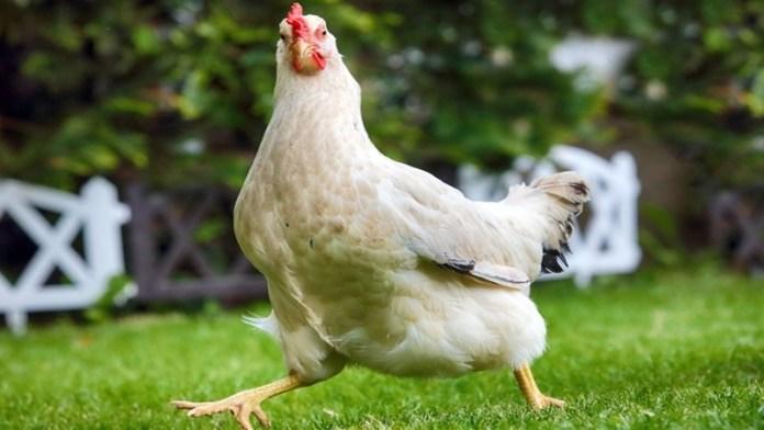 मुर्गे की मौत