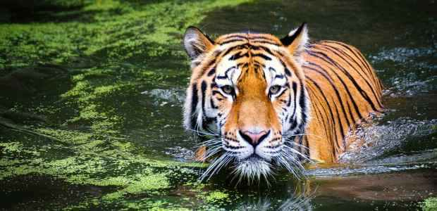 world Tiger Day Essay in Hindi