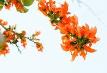 palash flower