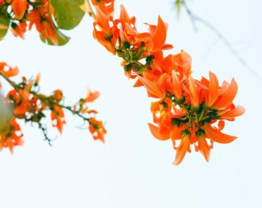 Palash ke Phool Benefits Side effects in Hindi – पलाश की ... Palash Flower In Hindi