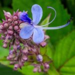 Blue Fountain Bush flower