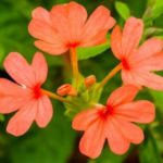 Crossandra flower