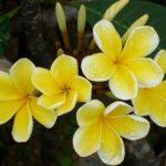 Golden Frangipani