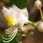 Hiptage flower