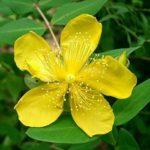 Hypericum flower