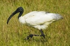 black headed ibis bird