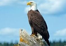 eagle birds