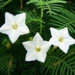 white Cypress Vine