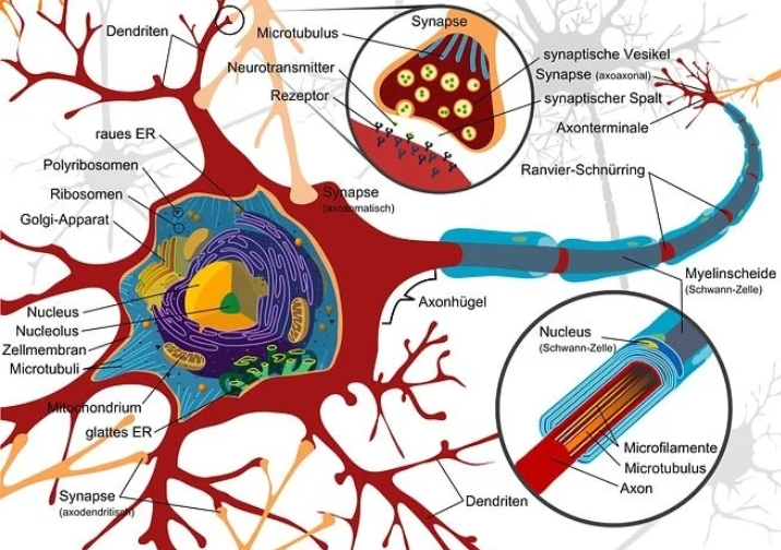 Nervous System in hindi