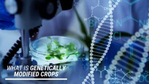 Read more about the article What are Genetically Modified crops, Meaning, Definition, Effects, Uses