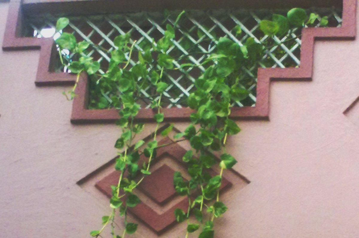 &Quot;मनी प्लांट&Quot; का पौधा लगाने से पहले जान लें ये बातें नहीं तो आएगी दरिद्रता