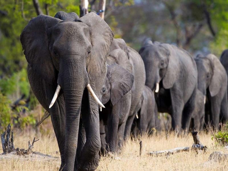 90 दिन बाद खुला बोत्सवाना में 350 हाथियों के मौत का रहस्य, जानकर भर आयेंगी आंखे