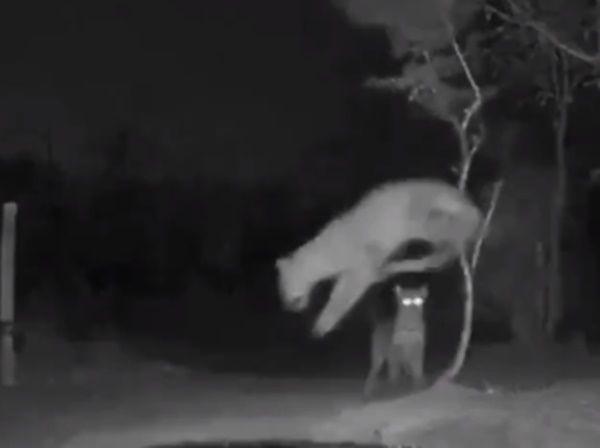 हिडेन कैमरे में हुआ रिकॉर्ड, देखिये रात में क्या करते हैं जानवर