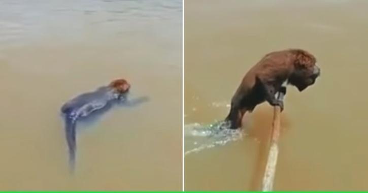 पानी में डूबते बंदर की जान बचाने के लिए मछुआरे ने लगाई अपने जान की बाजी, वीडियो हुआ वायरल