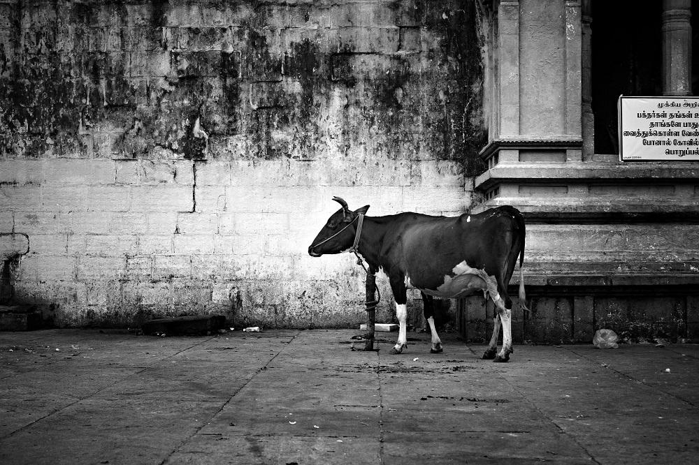 Cow lynching Junaid Khan