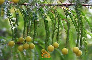 Amla Tree Phyllanthus emblica
