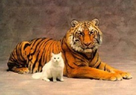 cat and tiger no-watermark