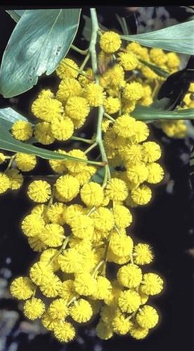 Australian floral emblem–golden wattle no-watermark