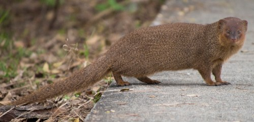 Mongoose in Hinduism