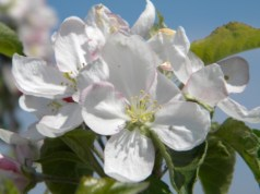 Apple tree bloom Hinton's Orchard