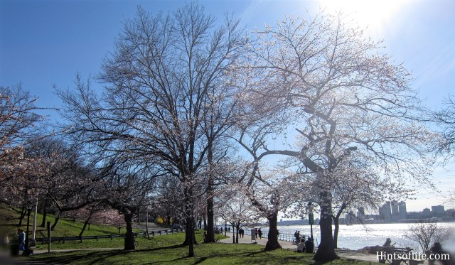 Cherry Blossoms at Riverside Park