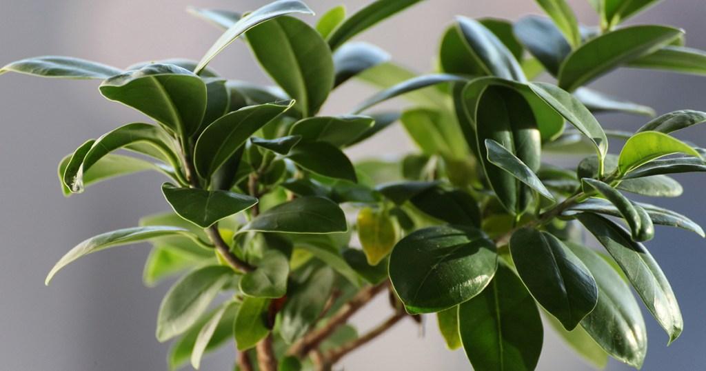 low maintenance houseplants – ficus tree