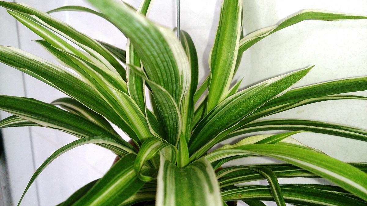 low maintenance houseplants — spider plant