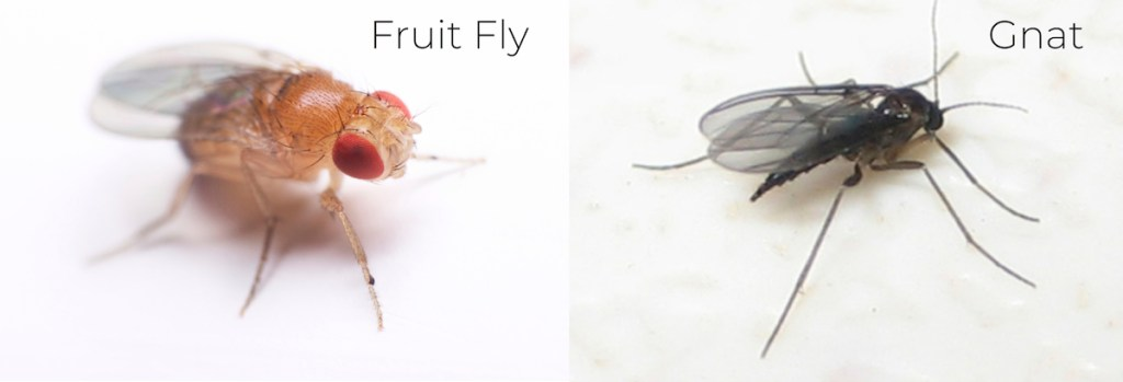 orange fruit fly with red eyes next to black gnat