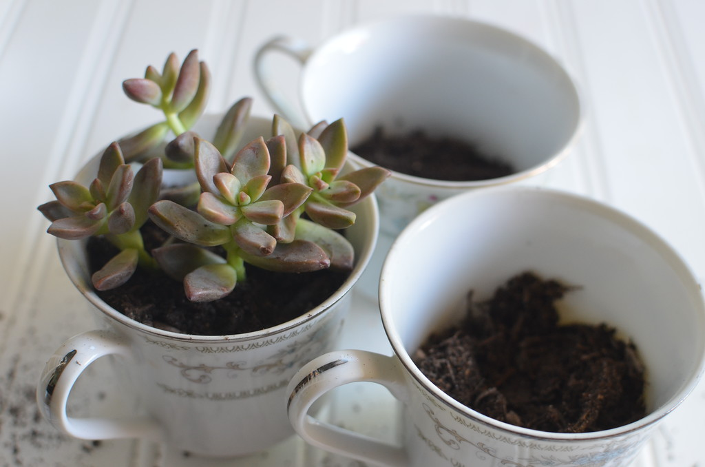 DIY Succulent Tea Cups