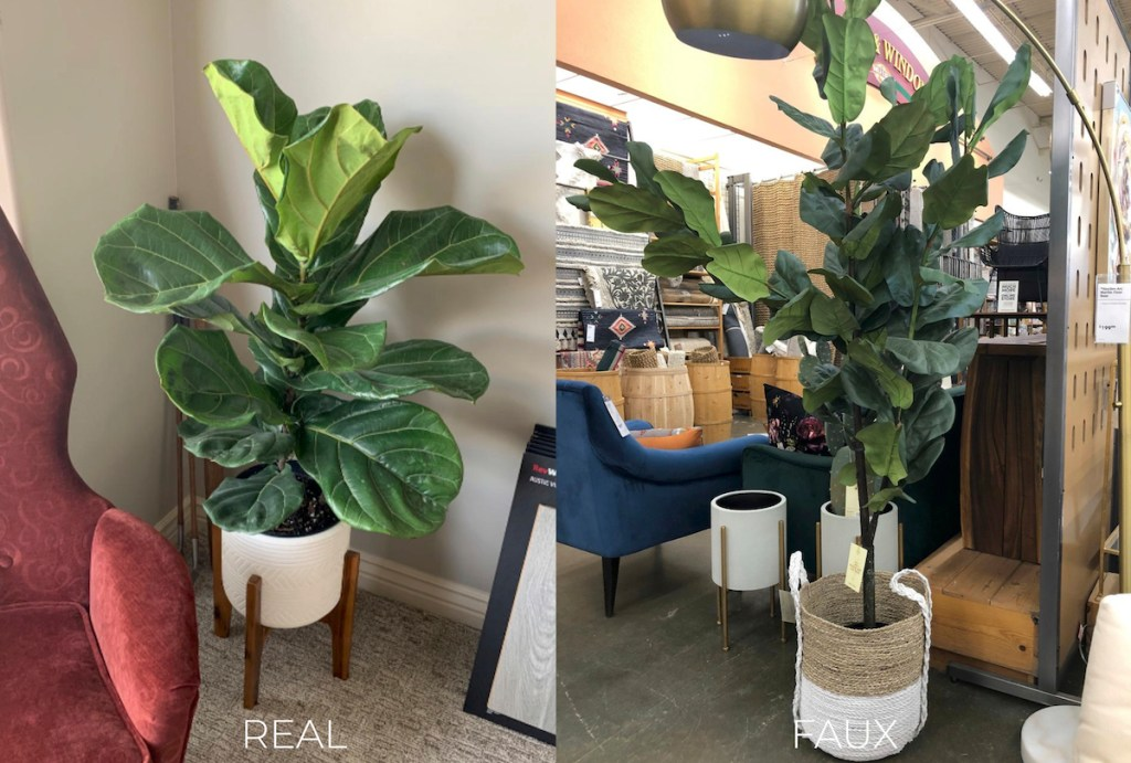 two fiddle leaf fig trees in planter and basket