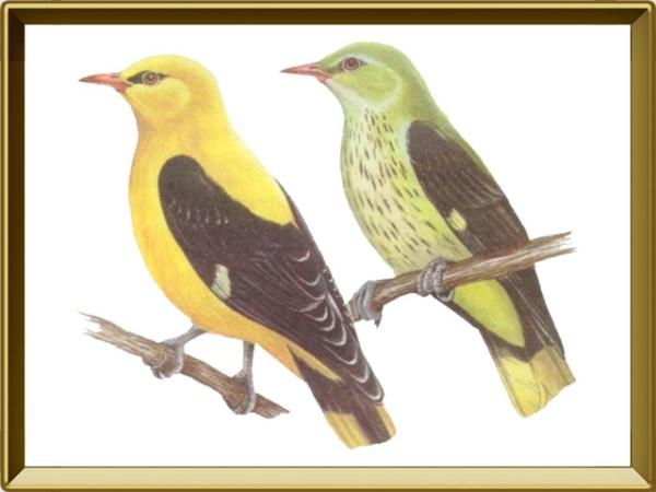 Иволга — птица. Описание иволги с картинками