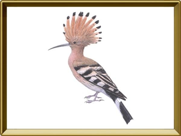 Удод — птица. Описание удода с картинками