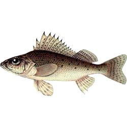 Ёрш — рыба. Описание ерша с картинками