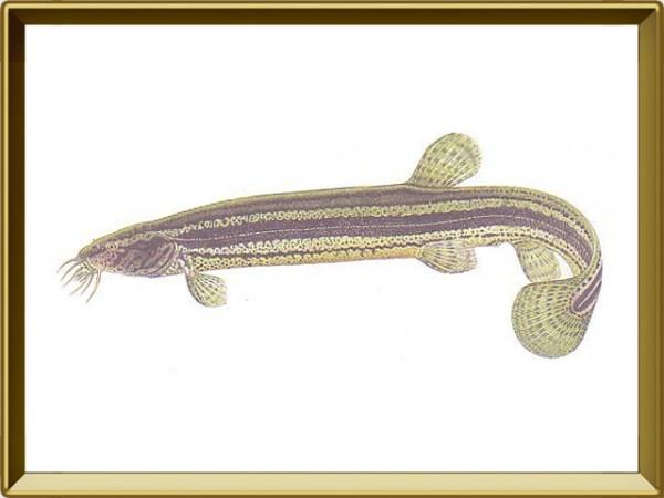 Вьюн — рыба. Описание вьюна с картинками