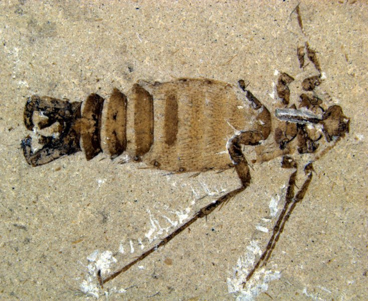 Giant Jurassic flea
