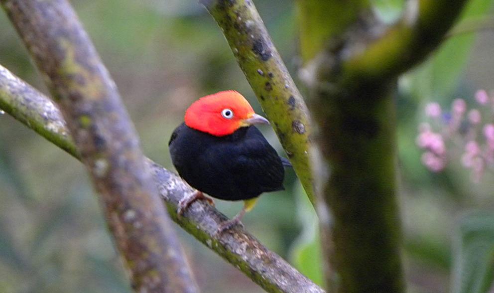 manaquín de cabeza roja