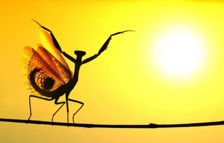 Mantis mediterranea. Foto de Hasan Baglar. National Geographic Photo Contest