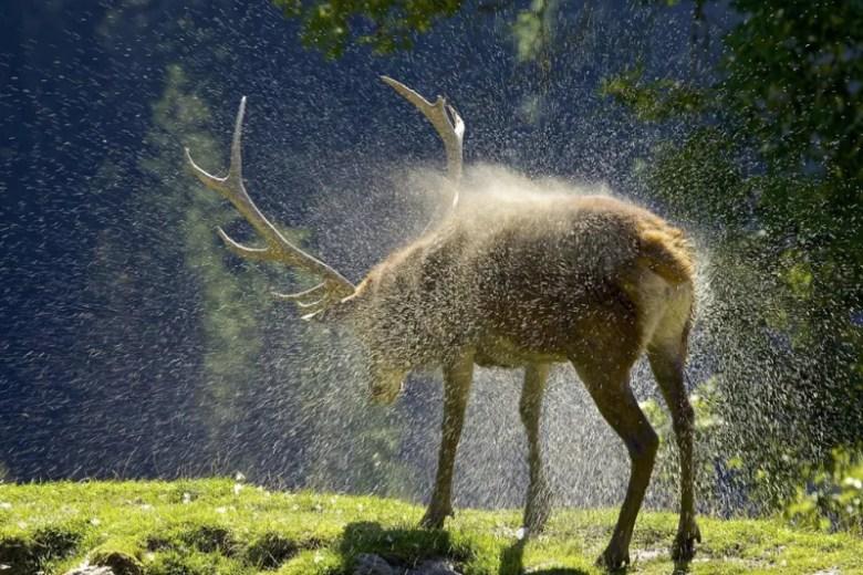 Ciervo en Austria. Foto de Winston Hintze. National Geographic Photo Contest