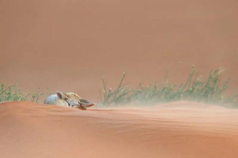 Zorro dormido. Foto de Francisco Mingorance. National Geographic Photo Contest