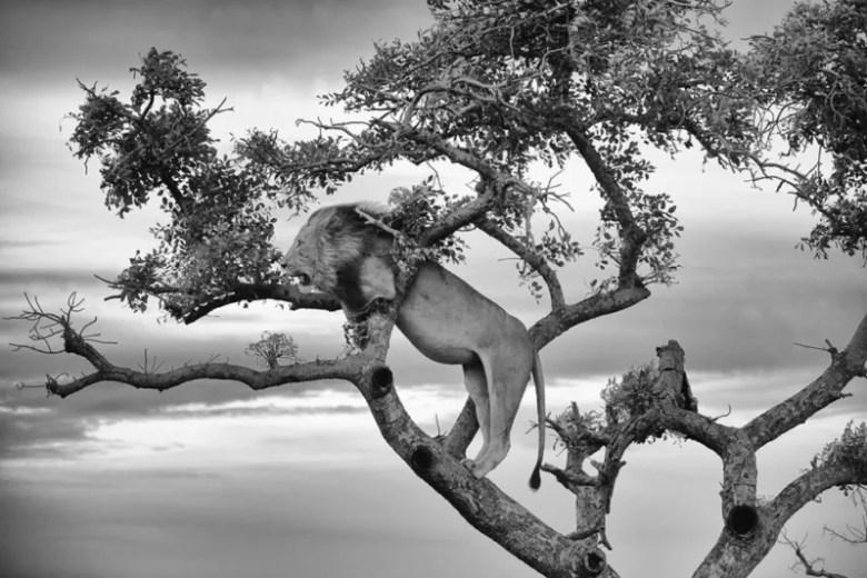 León en un árbol, Suráfrica. Foto de Nathan Stone. National Geographic Photo Contest