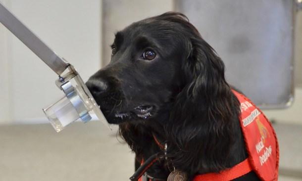 perros detectores de cáncer de prostata