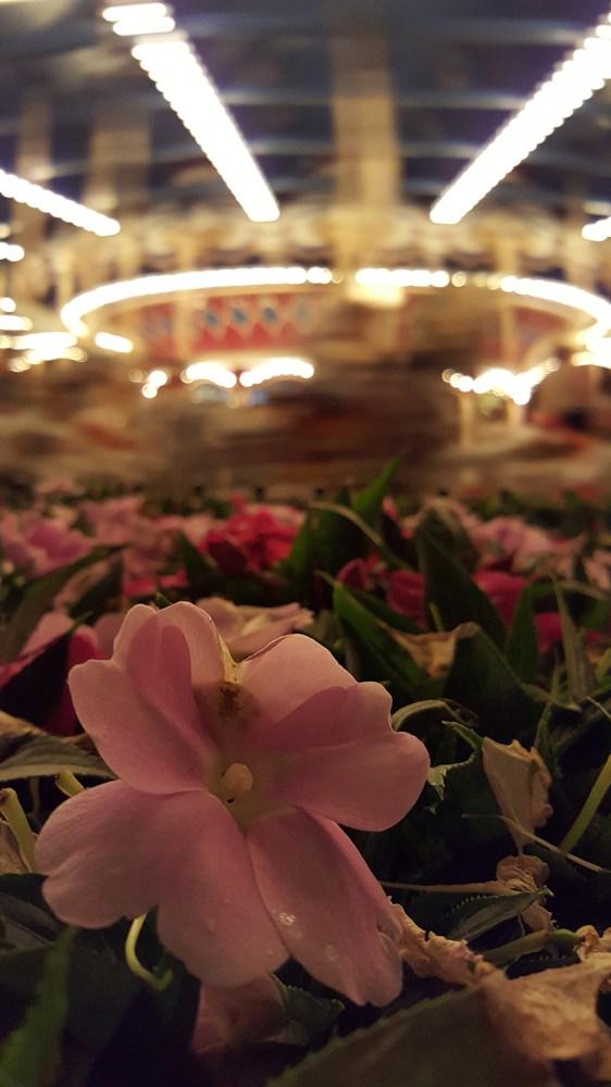 Esta flor está iluminada unicamente por la luz del carrusel.