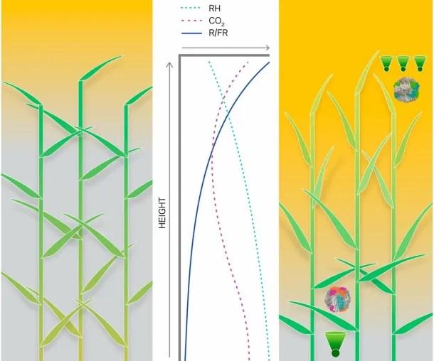 Esquema comparativo con el dosel modificado (derecha) en el que las hojas superiores adoptan una posición más vertical y las inferiores horizontal. Se muestra también la inversión de su tonalidad. Fuente: Universidad de Rochester