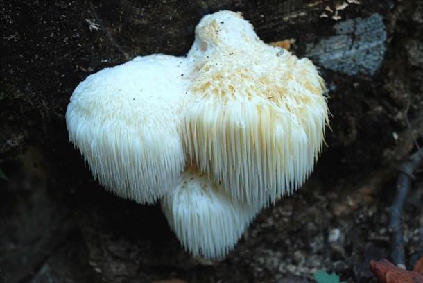 Toothed-mushroom