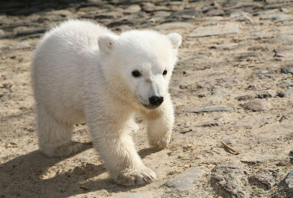 oso Knut