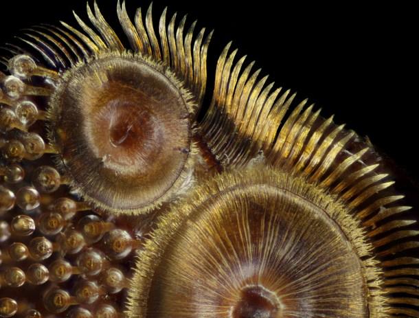 Ventosas de un escarabajo buceador. Créditos: Frank Reiser